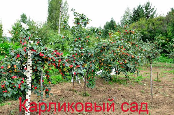 Яблоня подарок графскому на карликовом подвое отзывы 52
