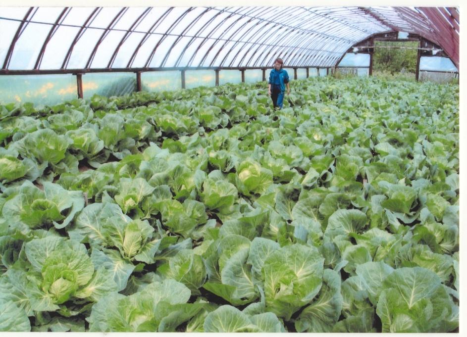 Технология выращивания ранней капусты 45